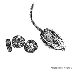 Fruits: Stellaria media. ~ By Regina O. Hughes. ~  Public Domain. ~  ~ Reed, C.F. 1970. Selected weeds of the United States. USDA Agric. Res. Ser. Agric. Handbook 336