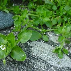 Plant form: Stellaria media. ~ By Glen Mittelhauser. ~ Copyright © 2018 Glen Mittelhauser. ~ www.mainenaturalhistory.org