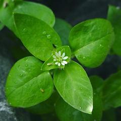 Leaves: Stellaria media. ~ By Glen Mittelhauser. ~ Copyright © 2019 Glen Mittelhauser. ~ www.mainenaturalhistory.org