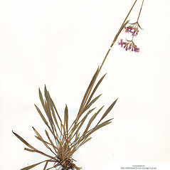Plant form: Viscaria vulgaris. ~ By CONN Herbarium. ~ Copyright © 2018 CONN Herbarium. ~ Requests for image use not currently accepted by copyright holder ~ U. of Connecticut Herbarium - bgbaseserver.eeb.uconn.edu/
