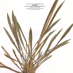Leaves: Viscaria vulgaris. ~ By CONN Herbarium. ~ Copyright © 2018 CONN Herbarium. ~ Requests for image use not currently accepted by copyright holder ~ U. of Connecticut Herbarium - bgbaseserver.eeb.uconn.edu/