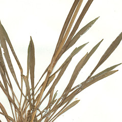 Stems: Viscaria vulgaris. ~ By CONN Herbarium. ~ Copyright © 2018 CONN Herbarium. ~ Requests for image use not currently accepted by copyright holder ~ U. of Connecticut Herbarium - bgbaseserver.eeb.uconn.edu/
