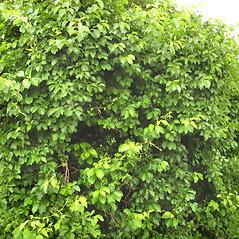 Plant form: Celastrus orbiculatus. ~ By Donna Kausen. ~ Copyright © 2019 Donna Kausen. ~ 33 Bears Den, Addison, ME 04606
