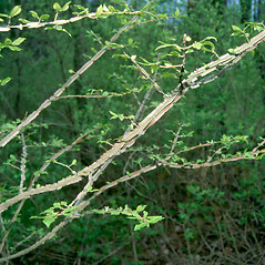 Plant form: Euonymus alatus. ~ By Vermont Nongame & Natural Heritage Program. ~ Copyright © 2017 Vermont Nongame & Natural Heritage Program. ~ Bob.Popp[at]state.vt.us ~ Vt Nongame & Natural Heritage Program