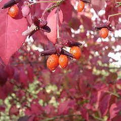 Fruits: Euonymus atropurpureus. ~ By Jill Weber. ~ Copyright © 2019 Jill Weber. ~ jillweber03[at]gmail.com