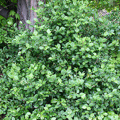 Plant form: Euonymus europaeus. ~ By Arieh Tal. ~ Copyright © 2020 Arieh Tal. ~ http://botphoto.com/ ~ Arieh Tal - botphoto.com