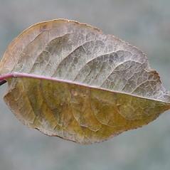 Leaves: Euonymus europaeus. ~ By Arieh Tal. ~ Copyright © 2017 Arieh Tal. ~ www.nttlphoto.com ~ Arieh Tal - www.nttlphoto.com