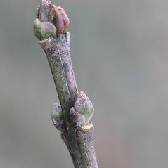 Winter buds: Euonymus europaeus. ~ By Arieh Tal. ~ Copyright © 2020 Arieh Tal. ~ http://botphoto.com/ ~ Arieh Tal - botphoto.com