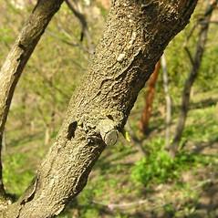 Bark: Euonymus phellomanus. ~ By Andrea Moro. ~ Copyright © 2019 CC BY-NC-SA 3.0. ~  ~ luirig.altervista.org/flora/taxa/north-america.php