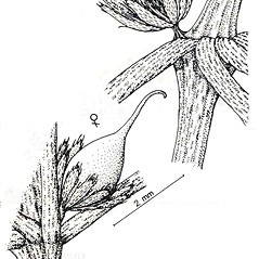 Inflorescences: Ceratophyllum echinatum. ~ By New York State Museum. ~ Copyright © 2017 New York State Museum. ~ www.nysm.nysed.gov/imagerequest