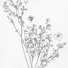 Plant form: Crocanthemum dumosum. ~ By Tess Feltes. ~  Public Domain. ~  ~ U. of New Hampshire