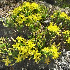 Flowers: Hudsonia ericoides. ~ By Donna Kausen. ~ Copyright © 2018 Donna Kausen. ~ 33 Bears Den, Addison, ME 04606