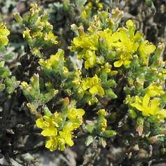 Flowers: Hudsonia tomentosa. ~ By Alexey Zinovjev. ~ Copyright © 2018. ~ webmaster[at]salicicola.com ~ Salicicola - www.salicicola.com/