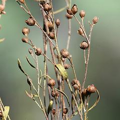 Fruits: Lechea intermedia. ~ By Arieh Tal. ~ Copyright © 2018 Arieh Tal. ~ http://botphoto.com/ ~ Arieh Tal - botphoto.com