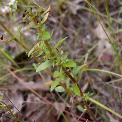 Leaves: Lechea minor. ~ By John Hilty. ~ Copyright © 2018 John Hilty. ~ john[at]illinoiswildflowers.info ~ Illinois Wildflowers - www.illinoiswildflowers.info/index.htm