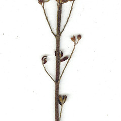 Stems: Lechea minor. ~ By CONN Herbarium. ~ Copyright © 2019 CONN Herbarium. ~ Requests for image use not currently accepted by copyright holder ~ U. of Connecticut Herbarium - bgbaseserver.eeb.uconn.edu/