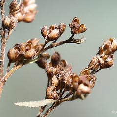 Fruits: Lechea mucronata. ~ By Arieh Tal. ~ Copyright © 2019 Arieh Tal. ~ http://botphoto.com/ ~ Arieh Tal - botphoto.com