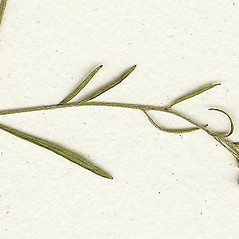 Leaves: Lechea tenuifolia. ~ By Missouri Botanical Garden. ~ Copyright © 2020 CC-BY-NC-SA. ~  ~ Tropicos, Missouri Botanical Garden - www.tropicos.org