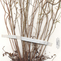 Stems: Lechea tenuifolia. ~ By CONN Herbarium. ~ Copyright © 2017 CONN Herbarium. ~ Requests for image use not currently accepted by copyright holder ~ U. of Connecticut Herbarium - bgbaseserver.eeb.uconn.edu/