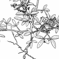 Stems: Polanisia dodecandra. ~ By Southern Illinois University Press. ~ Copyright © 2019 Southern Illinois University Press. ~ Requests for image use not currently accepted by copyright holder ~ Mohlenbrock, Robert H. 1987. The Illustrated Flora of Illinois, Flowering Plants, smartweeds to hazelnuts, . Southern Illinois U. Press