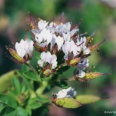 Flowers: Polanisia dodecandra. ~ By Keir Morse. ~ Copyright © 2018 Keir Morse. ~ www.keiriosity.com ~ www.keiriosity.com