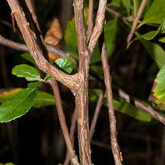Bark: Clethra alnifolia. ~ By Thomas H. Kent. ~ Copyright © 2017 Thomas H. Kent. ~ admin[at]florafinder.com ~ florafinder.com