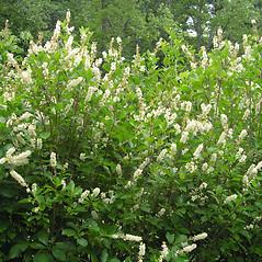 Plant form: Clethra alnifolia. ~ By Bruce Patterson. ~ Copyright © 2018 Bruce Patterson. ~ foxpatterson[at]comcast.net