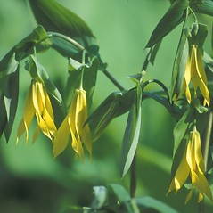 Flowers: Uvularia grandiflora. ~ By Jeff Carmichael. ~ Copyright © 2018 New England Wild Flower Society. ~ Image Request, images[at]newenglandwild.org