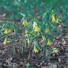 Plant form: Uvularia grandiflora. ~ By David Longland. ~ Copyright © 2018 New England Wild Flower Society. ~ Image Request, images[at]newenglandwild.org
