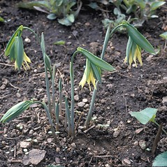 Plant form: Uvularia grandiflora. ~ By Frank Bramley. ~ Copyright © 2017 New England Wild Flower Society. ~ Image Request, images[at]newenglandwild.org