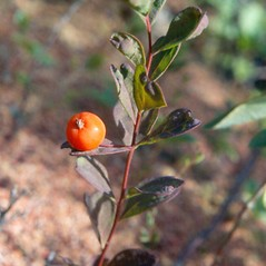 Fruits: Geocaulon lividum. ~ By Arthur Haines. ~ Copyright © 2018. ~ arthurhaines[at]wildblue.net