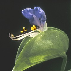 Flowers: Commelina communis. ~ By Albert Bussewitz. ~ Copyright © 2019 New England Wild Flower Society. ~ Image Request, images[at]newenglandwild.org