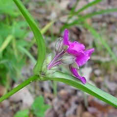 Flowers: Tradescantia virginiana. ~ By Arthur Haines. ~ Copyright © 2018. ~ arthurhaines[at]wildblue.net