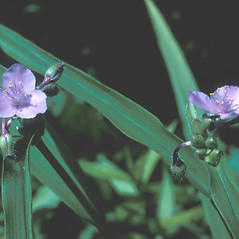 Flowers: Tradescantia virginiana. ~ By Lawrence Newcomb. ~ Copyright © 2017 New England Wild Flower Society. ~ Image Request, images[at]newenglandwild.org