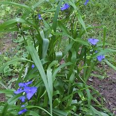 Plant form: Tradescantia virginiana. ~ By Steven Baskauf. ~ Copyright © 2018 CC-BY-NC-SA. ~  ~ Bioimages - www.cas.vanderbilt.edu/bioimages/frame.htm