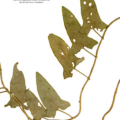 Leaves: Calystegia pubescens. ~ By CONN Herbarium. ~ Copyright © 2017 CONN Herbarium. ~ Requests for image use not currently accepted by copyright holder ~ U. of Connecticut Herbarium - bgbaseserver.eeb.uconn.edu/