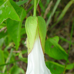 Additional features: Calystegia sepium. ~ By Arthur Haines. ~ Copyright © 2020. ~ arthurhaines[at]wildblue.net
