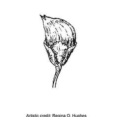 Fruits: Convolvulus arvensis. ~ By Regina O. Hughes. ~  Public Domain. ~  ~ Reed, C.F. 1970. Selected weeds of the United States. USDA Agric. Res. Ser. Agric. Handbook 336