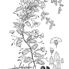 Plant form: Convolvulus arvensis. ~ By Regina O. Hughes. ~  Public Domain. ~  ~ Reed, C.F. 1970. Selected weeds of the United States. USDA Agric. Res. Ser. Agric. Handbook 336