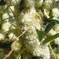 Flowers: Cuscuta approximata. ~ By Curtis Bjork. ~ Copyright © 2019 Curtis Bjork. ~ crbjork[at]gmail.com ~ E-Flora BC - www.geog.ubc.ca/biodiversity/eflora/