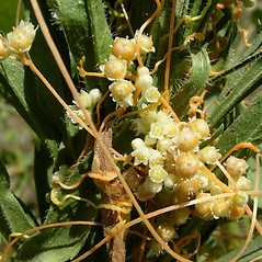 Flowers: Cuscuta campestris. ~ By Neal Kramer. ~ Copyright © 2018 Neal Kramer. ~ kramerbotanical[at]yahoo.com ~ CalPhotos - calphotos.berkeley.edu/flora/