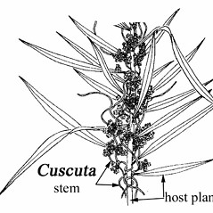 Stems: Cuscuta campestris. ~ By Southern Illinois University Press. ~ Copyright © 2020 Southern Illinois University Press. ~ Requests for image use not currently accepted by copyright holder ~ Mohlenbrock, Robert H. 1981. The Illustrated Flora of Illinois, Flowering Plants, magnolias to pitcher plants. Southern Illinois U. Press, Carbondale and Edwardsville, IL. 288pp.
