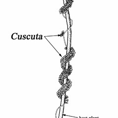 Plant form: Cuscuta compacta. ~ By Southern Illinois University Press. ~ Copyright © 2017 Southern Illinois University Press. ~ Requests for image use not currently accepted by copyright holder ~ Mohlenbrock, Robert H. 1981. The Illustrated Flora of Illinois, Flowering Plants, magnolias to pitcher plants. Southern Illinois U. Press, Carbondale and Edwardsville, IL. 288pp.