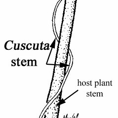 Stems: Cuscuta compacta. ~ By Southern Illinois University Press. ~ Copyright © 2017 Southern Illinois University Press. ~ Requests for image use not currently accepted by copyright holder ~ Mohlenbrock, Robert H. 1981. The Illustrated Flora of Illinois, Flowering Plants, magnolias to pitcher plants. Southern Illinois U. Press, Carbondale and Edwardsville, IL. 288pp.