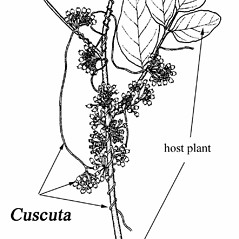 Plant form: Cuscuta coryli. ~ By Southern Illinois University Press. ~ Copyright © 2017 Southern Illinois University Press. ~ Requests for image use not currently accepted by copyright holder ~ Mohlenbrock, Robert H. 1981. The Illustrated Flora of Illinois, Flowering Plants, magnolias to pitcher plants. Southern Illinois U. Press, Carbondale and Edwardsville, IL. 288pp.