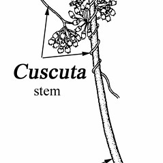 Stems: Cuscuta coryli. ~ By Southern Illinois University Press. ~ Copyright © 2020 Southern Illinois University Press. ~ Requests for image use not currently accepted by copyright holder ~ Mohlenbrock, Robert H. 1981. The Illustrated Flora of Illinois, Flowering Plants, magnolias to pitcher plants. Southern Illinois U. Press, Carbondale and Edwardsville, IL. 288pp.