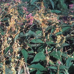 Plant form: Cuscuta gronovii. ~ By Albert Bussewitz. ~ Copyright © 2019 New England Wild Flower Society. ~ Image Request, images[at]newenglandwild.org
