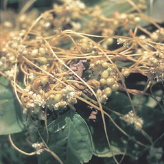 Plant form: Cuscuta gronovii. ~ By Frank Bramley. ~ Copyright © 2020 New England Wild Flower Society. ~ Image Request, images[at]newenglandwild.org