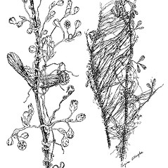 Plant form: Cuscuta indecora. ~ By Regina O. Hughes. ~  Public Domain. ~  ~ Reed, C.F. 1970. Selected weeds of the United States. USDA Agric. Res. Ser. Agric. Handbook 336