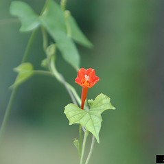 Flowers: Ipomoea coccinea. ~ By Karan Rawlins. ~ Copyright © 2017 CC BY-NC 3.0. ~  ~ Bugwood - www.bugwood.org/